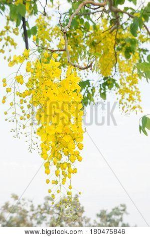 Golden shower flowers yellow flower Cassia fistula in summer Thailand
