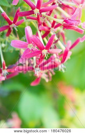 Rangoon Creeper flowers Chinese honey Suckle Drunen sailor flowers blossom pink flowers
