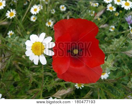 Poppy and daisy flower on green background. Nature flowers. Beautiful couple with romantic colors. Red intense yellow and white petals flowering. Small daisies flowers.