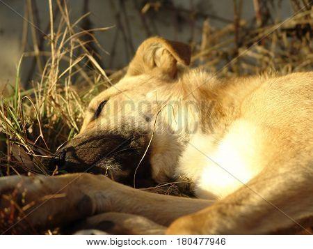 Stray dog sleeps on a grassy lawn