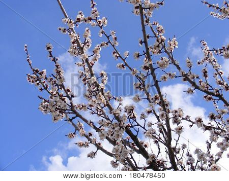 Blooming trees, flowering fruit trees, spring and blooming apricot trees Blooming field trees, spring moon, glowing nature, apricot trees