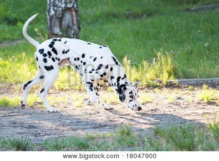 young is dog species Dalmatian on nature poster