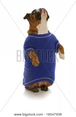 dog begging - english bulldog wearing blue shirt sitting up begging on white background