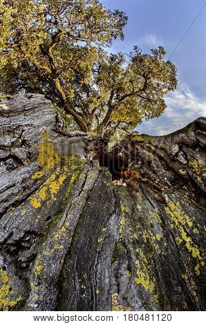 Impressive oak in the Navarrese town of Eraul, they say that one day lightning struck him and he stayed, but he did not die. The trunk is very twisted as you see in the photos and is approximately 1.30 m. diameter. I have a helmet to give you an idea of i