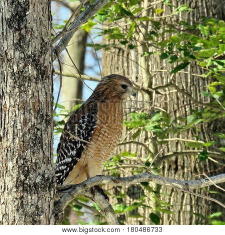 Cooper's Hawk on a branch in forest of Mclean USA March 18 2017