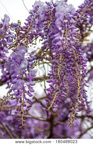 Closeup Of A Beautiful Cascade Of Wisteria Flowers