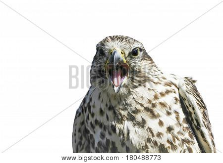 funny portrait of a Kestrel with open beak