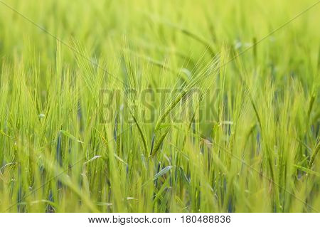 green field with ears of wheat in the summer on the farm