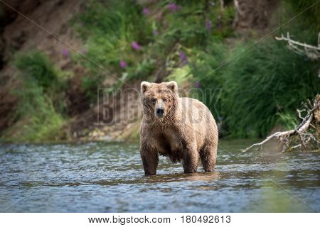Alaskan Brown Bear In River