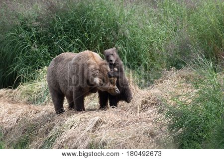 Alaskan Brown Bear Cub And Sow