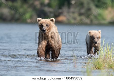 Alaskan Brown Bear Sow And Cub