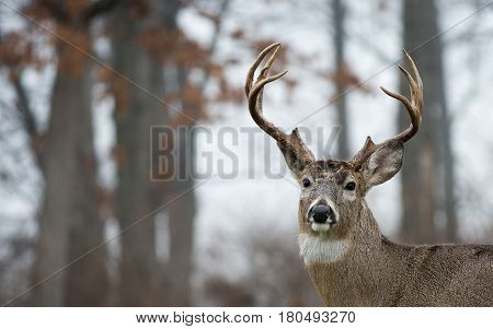 White-tailed Deer Buck