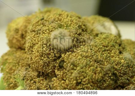 Detail Of An Old Spoiled Brocoli With White Mold