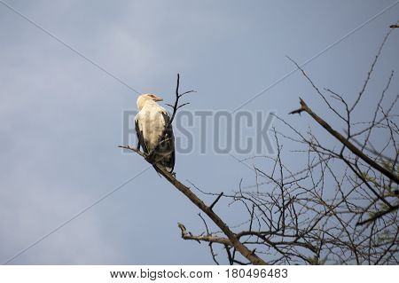 Palm Nut Vulture, Lake Manyara National Park, Tanzania