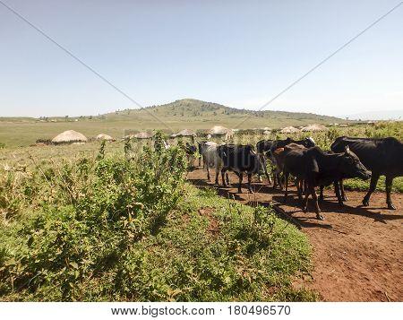 Maasi Cows On Dirt Road, Ngorongoro Conservation Area, Tanzania