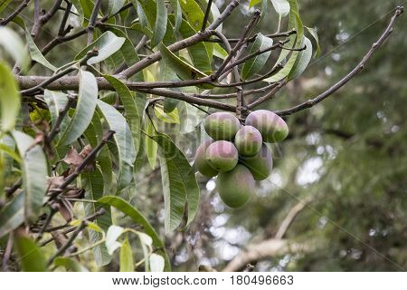 Green fresh mangoes growing in cluster on tree.