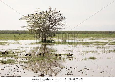 African Spoonbill And Egyptian Geese,lake Manyara, Tanzania