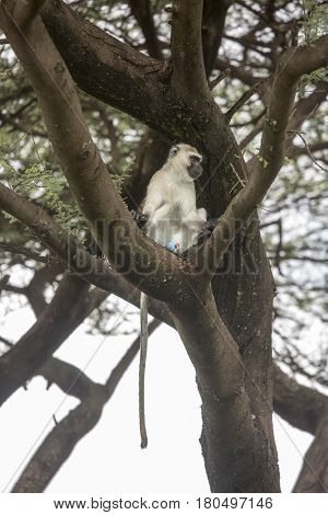 Blue Ball Monkey Sitting In Tree, Lake Manyara, Tanzania