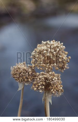 dried flower in the garden near with water