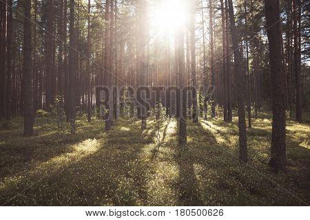 Fir forest on a summer day