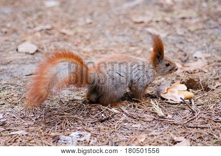 Squirrel redhead in the cedar forest macro photo
