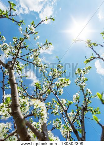 Plum tree in blossom. Bright spring sky on the background.