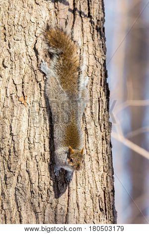 The eastern Grey Squirrel is native to the eastern and midwestern United States, and to the southerly portions of the eastern provinces of Canada. They are common in parks in Quebec Canada.