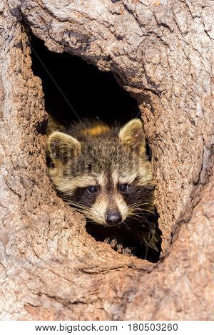 Bandit-masked raccoons are a familiar sight just about everywhere, because they will eat just about anything. These ubiquitous mammals are found in forests, marshes, prairies, and even in cities.