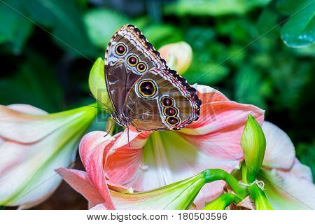 Blue Morpho Butterfly resting on a lilac flower. Here you can see the inner wing color. The outer wing consists of round rings or eyes that sometimes confuses it with the owl butterfly.