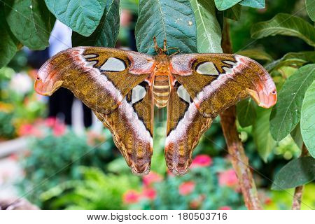 Cobra or Atlas moth showing full wingspan perched on a wild flower.