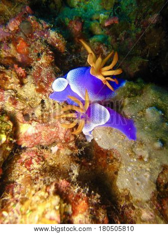 Close up two blue nudibranch in coral reef