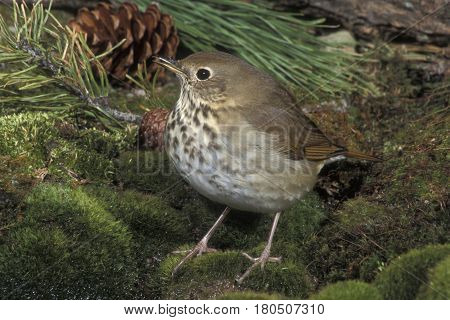 A Hermit Thrush on green moss in the forest