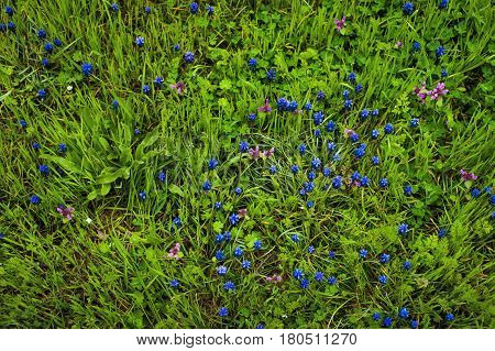 Blue flowers Muscari or murine hyacinth buds and leaves.