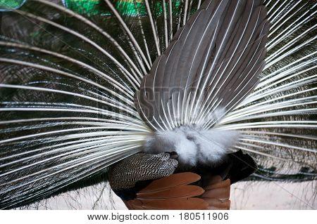 Plumage of the Indian peafowl (Pavo cristatus), also known as the blue peafowl. Wildlife bird.