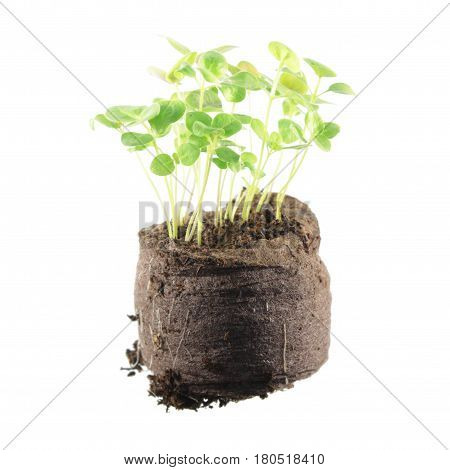 Young snapdragon plants isolated on white background. Seedling in clod of soil