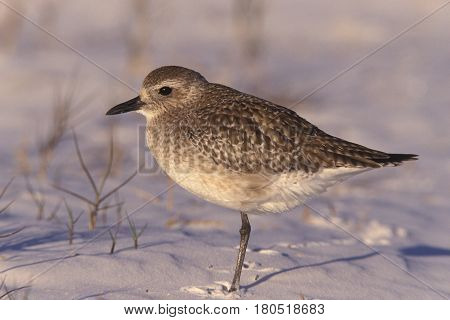 A juvenile Black-bellied Plover on a beach in Florida