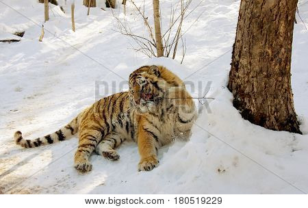 Wounded tiger in the center of rehabilitation of wild animals