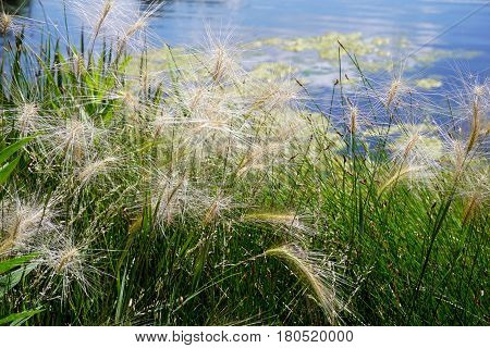 Hordeum jubatum (with the common names foxtail barley, bobtail barley, squirreltail barley, and intermediate barley) beside a small lake in Joliet, Illinois during June.