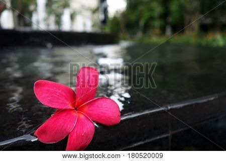 Frangipani flowers on the swimming pool side