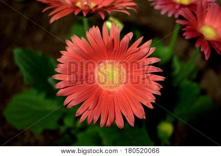 Gerbera Daisy flower plant pink beautiful lovely bokeh effect