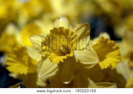 Daffodil yellow flower plant up close bokeh effect beautiful
