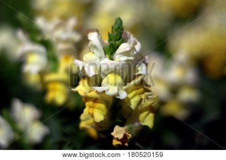 Antirrhinum dragon flower snapdragon white and yellow bokeh effect