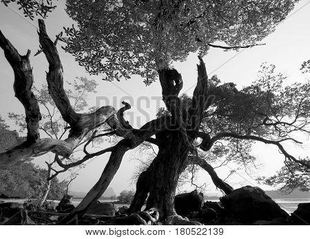 Treant. Black and white photo of tree with human-like silhouette.
