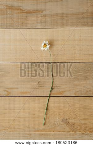Top view image of dry wild field chamomile flower on a wooden background to tea or alternative medicine concept