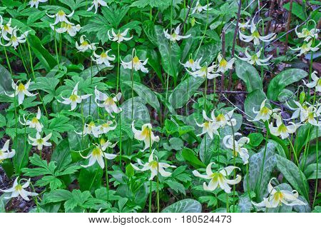 Closeup of white fawn lily flowers in garden. Flower species name is erythronium oregonum and green ground cover is Shiny geranium, Geranium lucidum