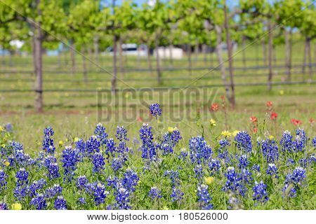 Blue Bonnet is at full bloom in Brenham, TX