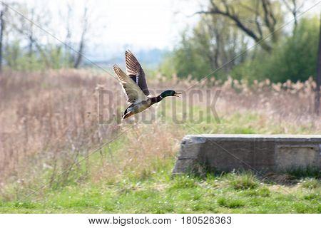 taking off the male Mallard flying drops of water