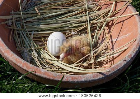 newly hatched chick in the nest pigeon