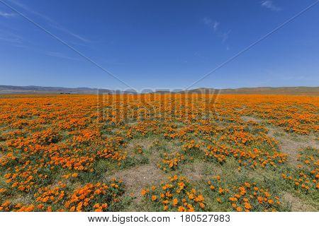 Poppy wildflower meadow near Lancaster California.