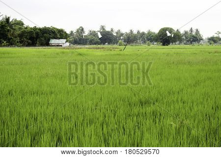 The traditional method for cultivating rice is flooding the fields while or after setting the young seedlings. This simple method requires sound planning and servicing of the water damming and channeling but reduces the growth of less robust weed and pest